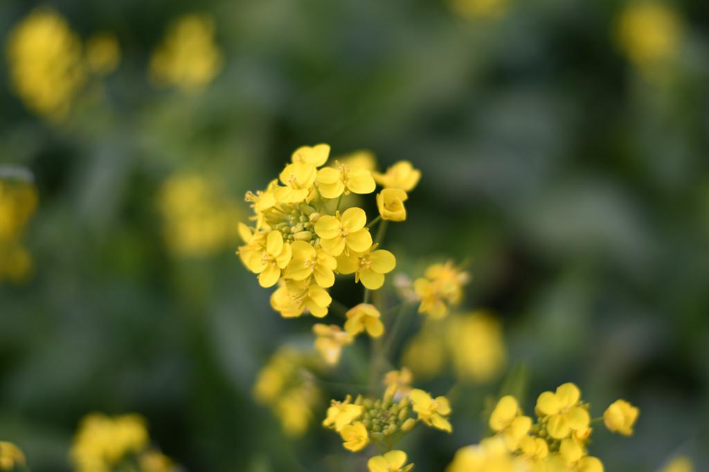 河津_菜の花